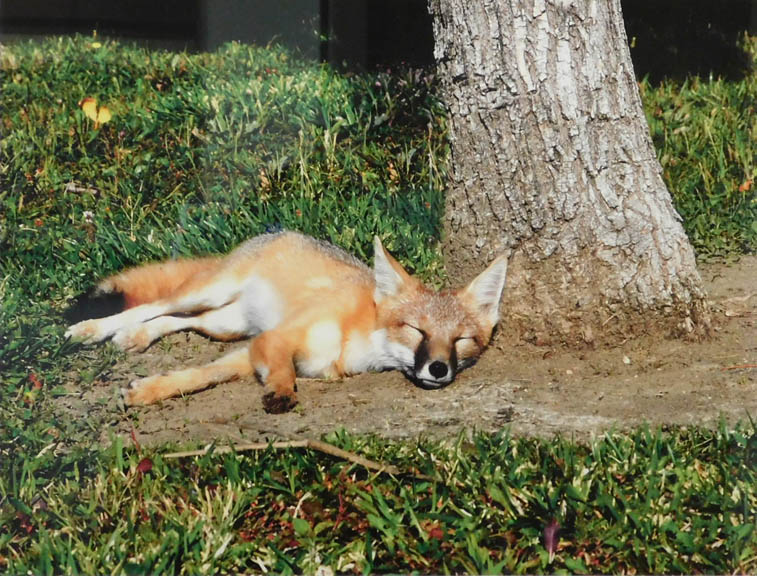 Nancy Saathoff - Sleeping Fox