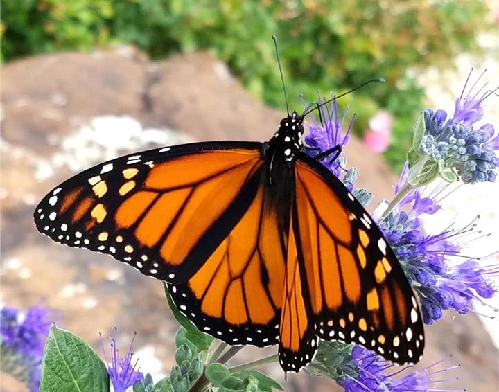 Patti Nickell- Butterfly